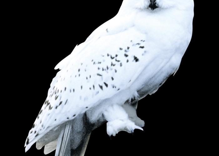 Hedwig owl - 1