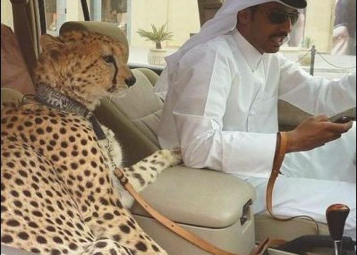 Pet cheetah  - 1