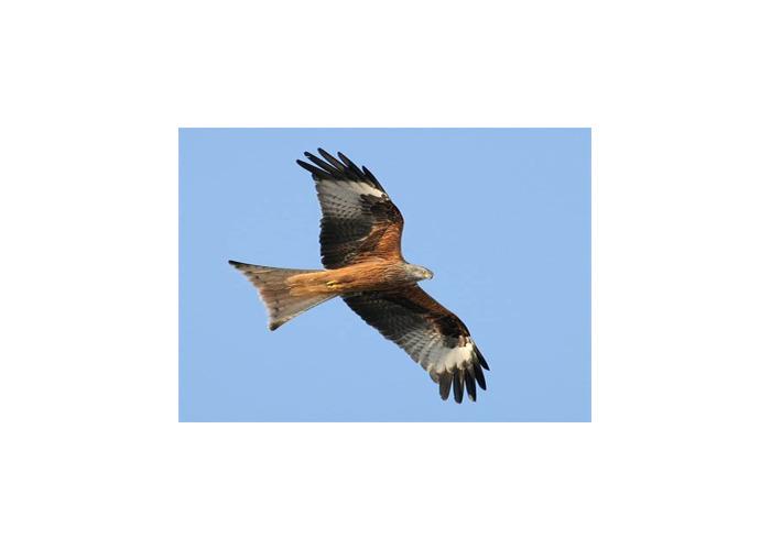 Red kite - 1